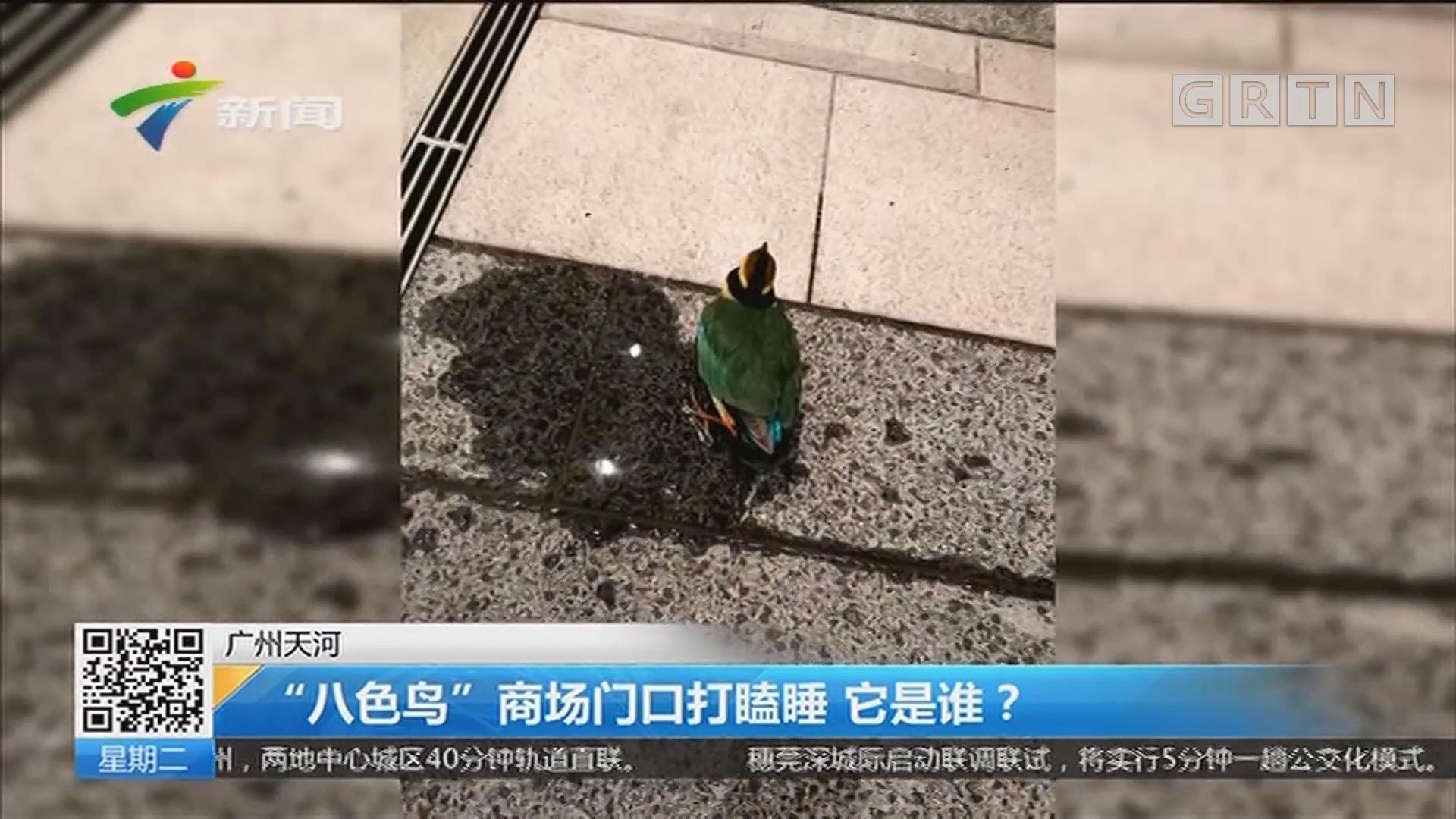 """广州天河:""""八色鸟""""商场门口打瞌睡 它是谁?"""
