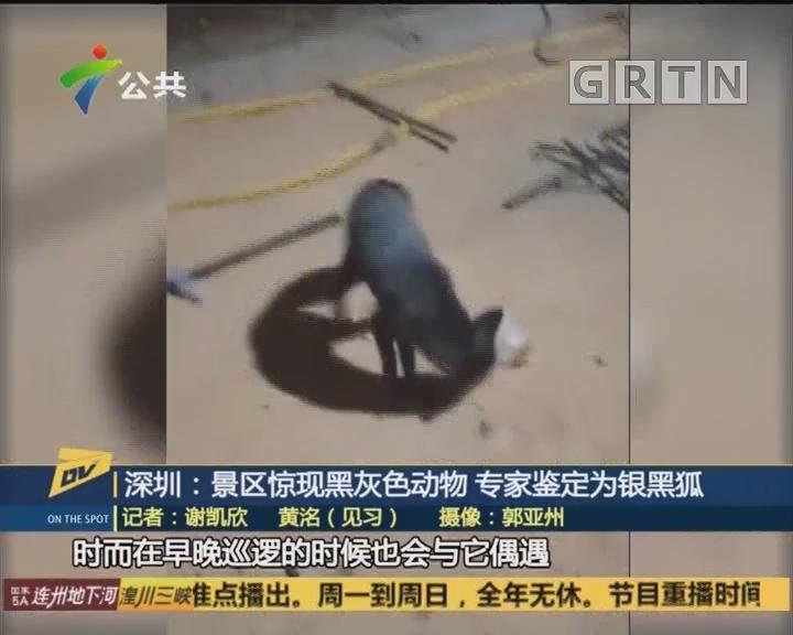 (DV现场)深圳:景区惊现黑灰色动物 专家鉴定为银黑狐