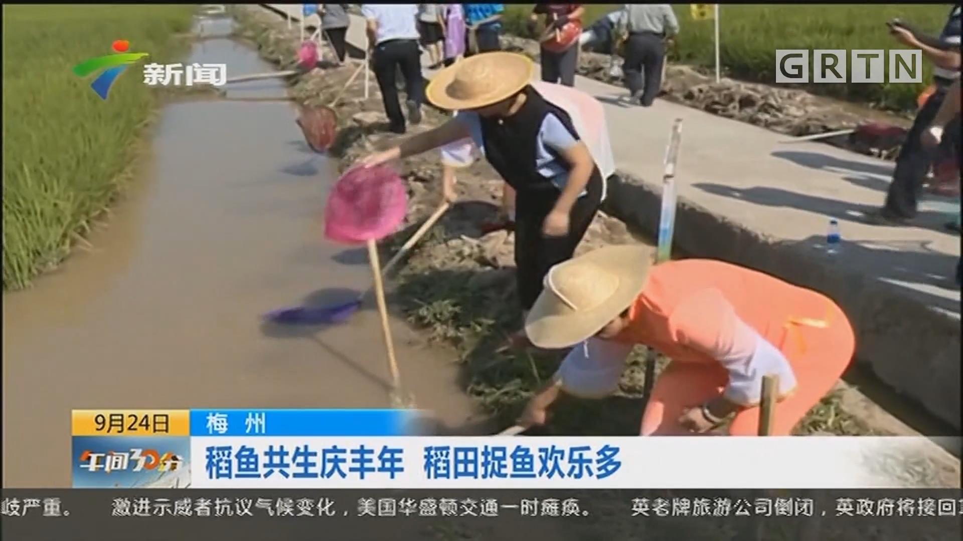 梅州:稻鱼共生庆丰年 稻田捉鱼欢乐多