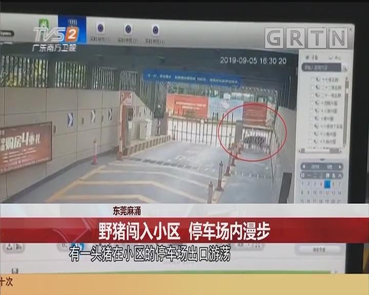 东莞麻涌 野猪闯入小区 停车场内漫步