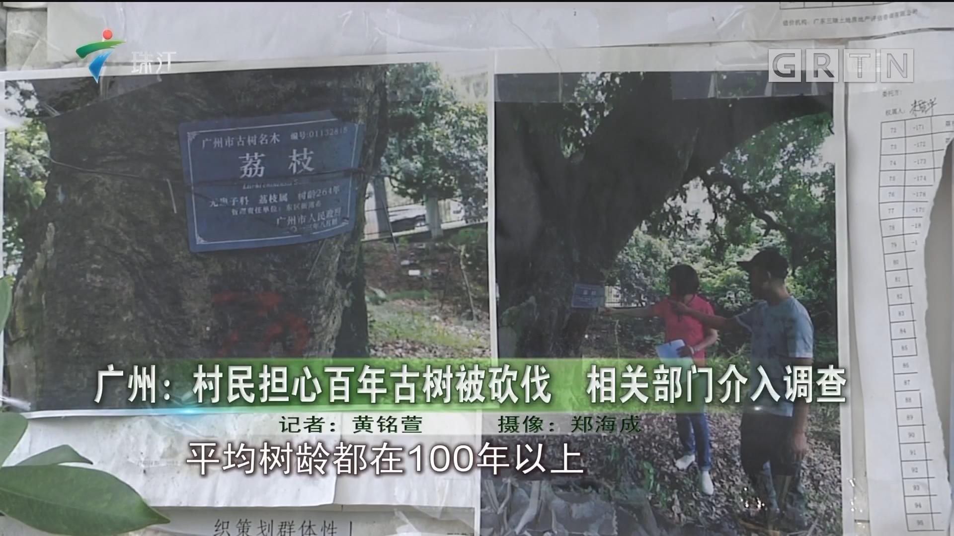 广州:村民担心百年古树被砍伐 相关部门介入调查