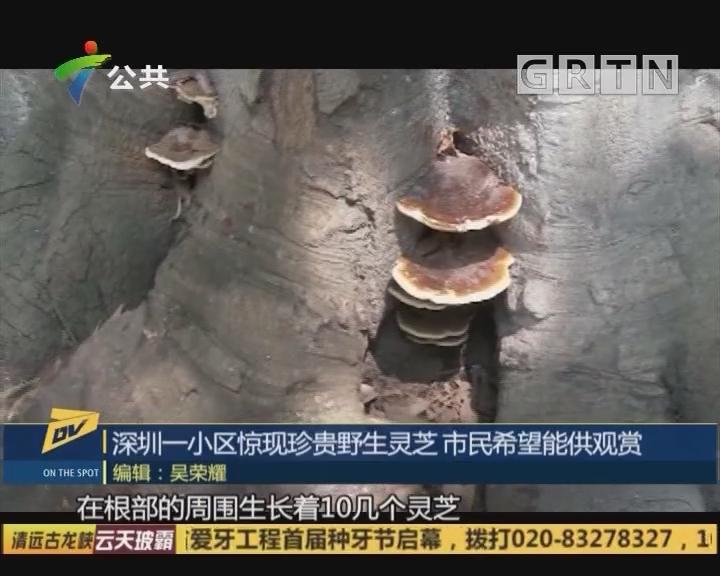 (DV现场)深圳一小区惊现珍贵野生灵芝 市民希望能供观赏