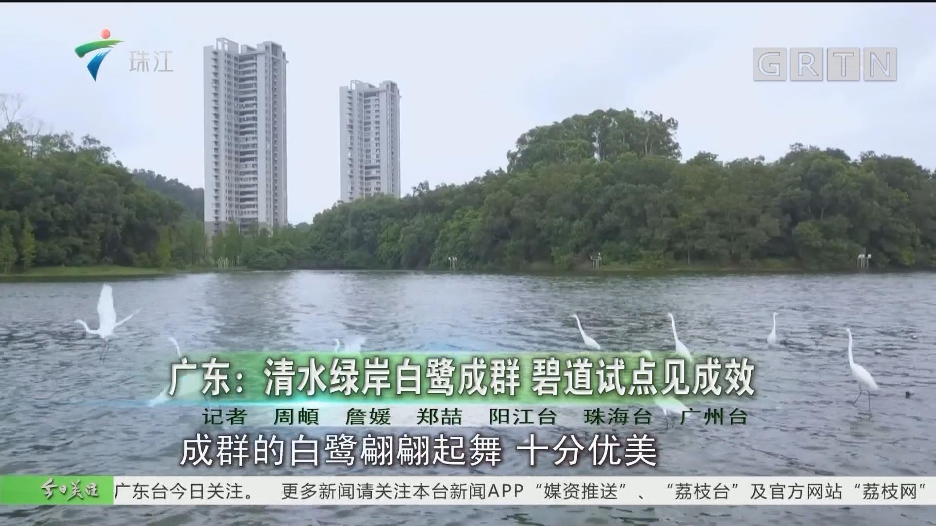 广东:清水绿岸白鹭成群 碧道试点见成效