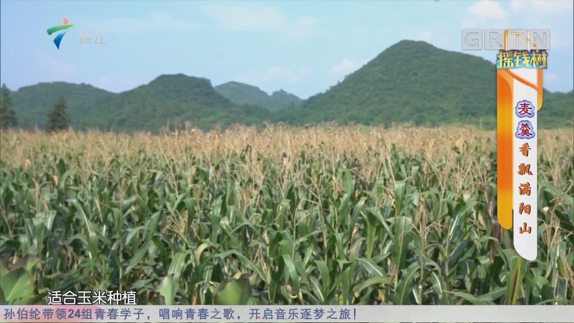[HD][2019-09-09]搖錢樹:麥羹香飄滿陽山