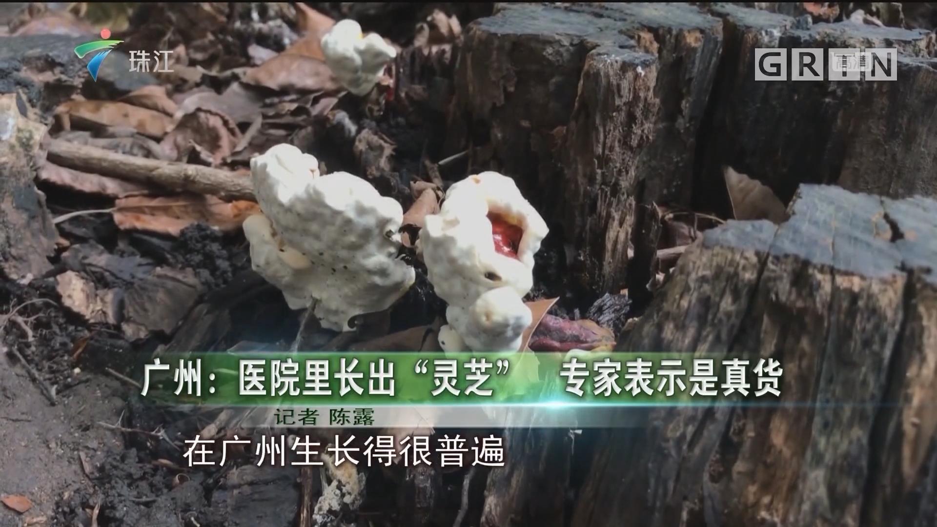 """广州:医院里长出""""灵芝"""" 专家表示是真货"""