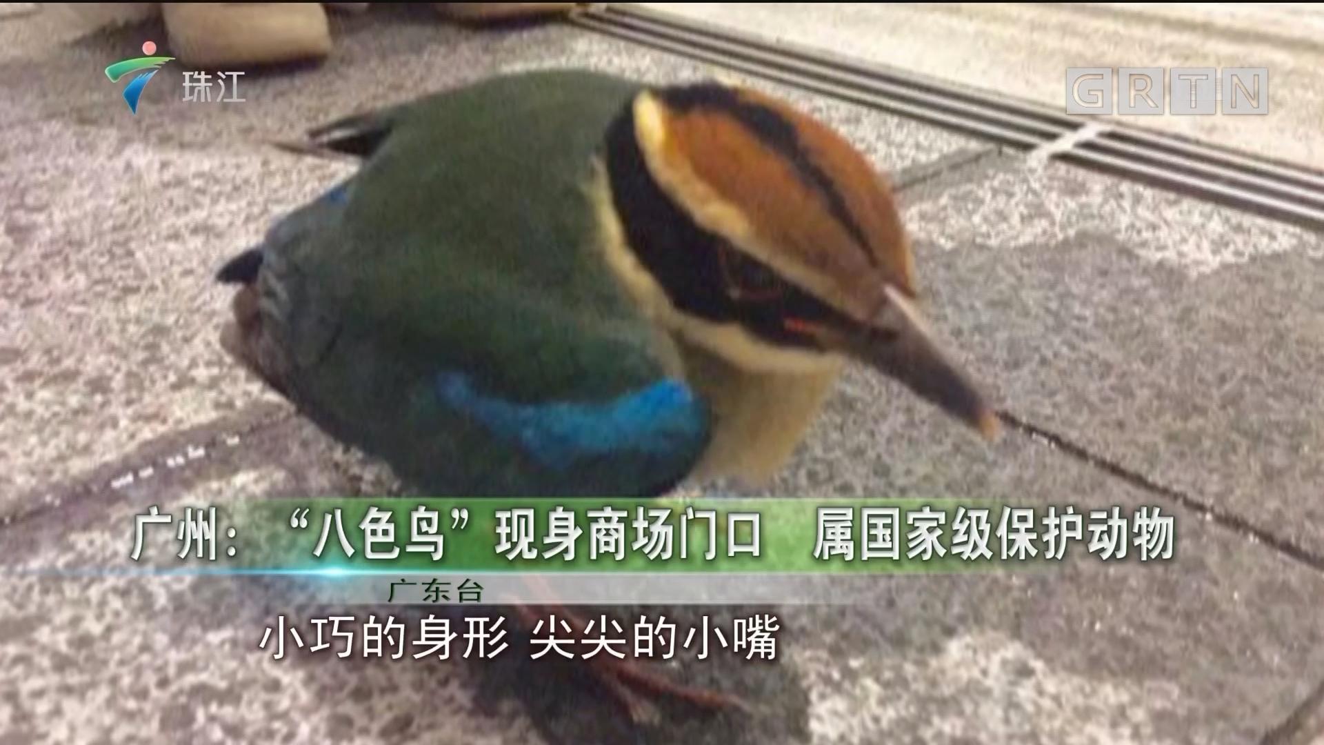 """广州:""""八色鸟""""现身商场门口 属国家级保护动物"""