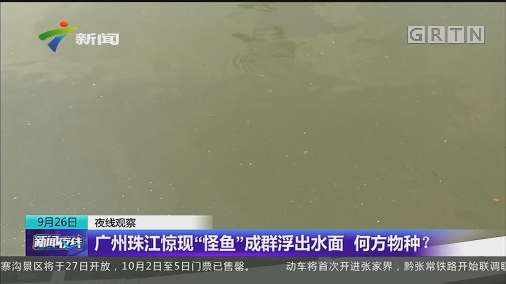 """广州珠江惊现""""怪鱼""""成群浮出水面 何方物种?"""