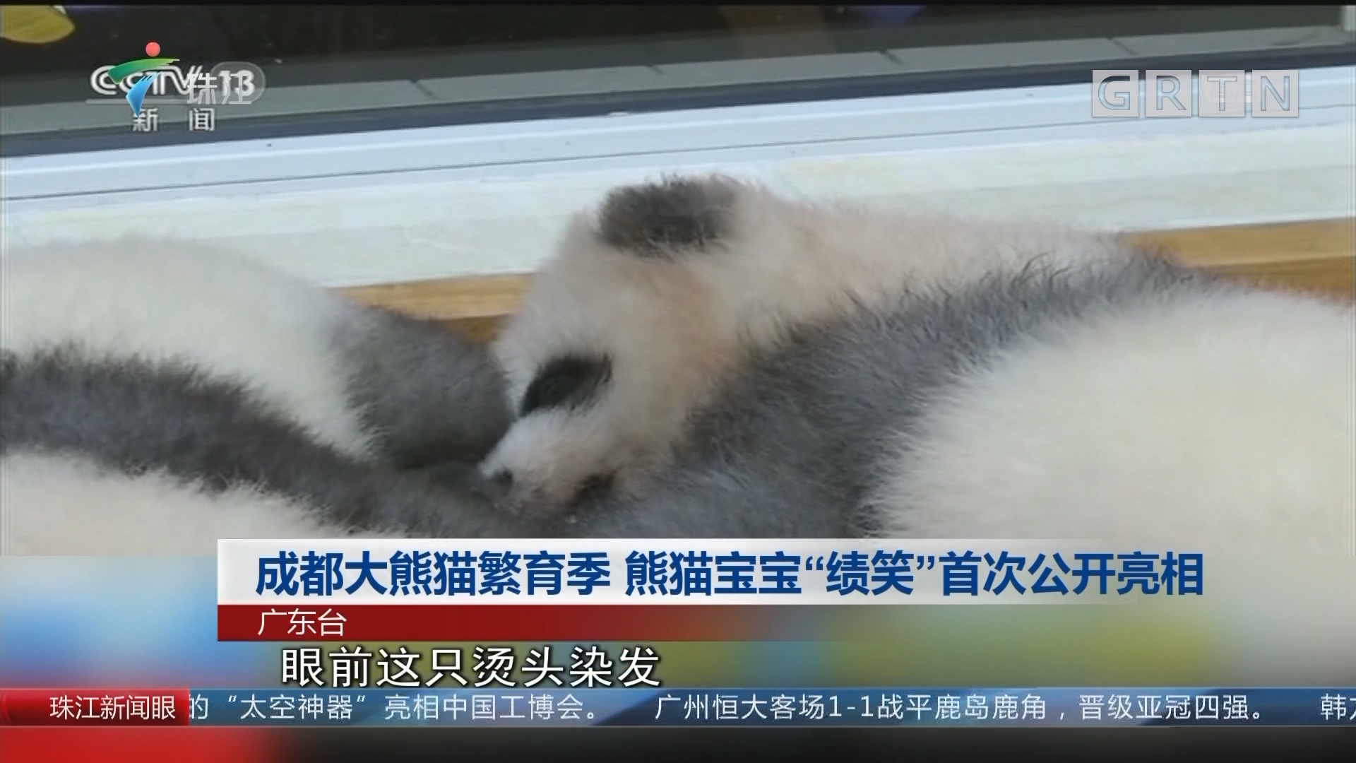 """成都大熊猫繁育季 熊猫宝宝""""绩笑""""首次公开亮相"""