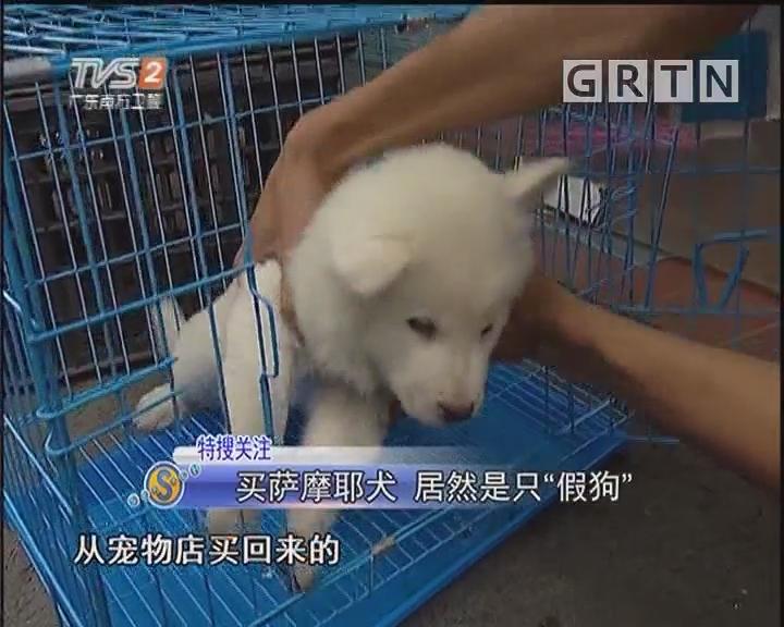 """买萨摩耶犬 居然是只""""假狗"""""""