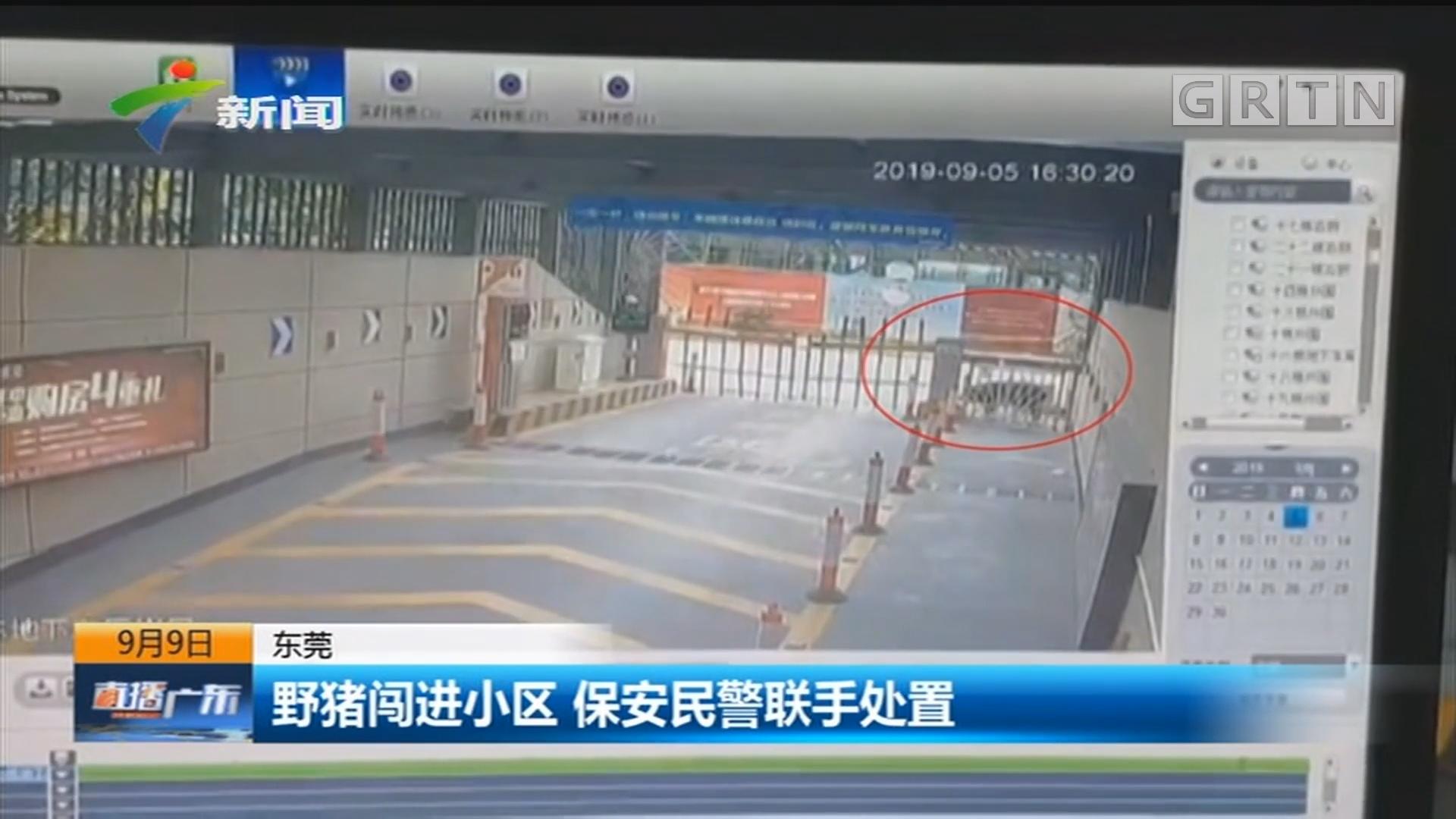 东莞:野猪闯进小区 保安民警联手处置