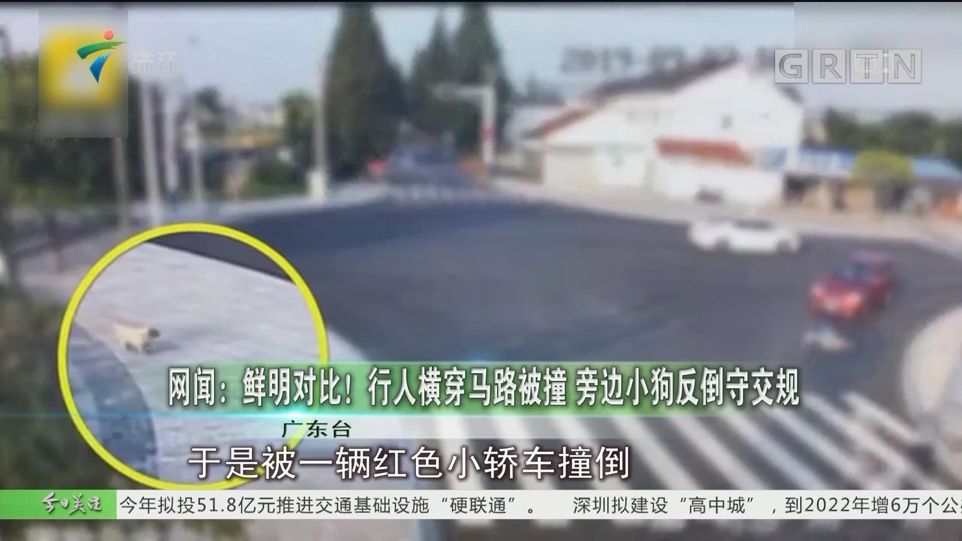 网闻:鲜明对比!行人横穿马路被撞 旁边小狗反倒守交规