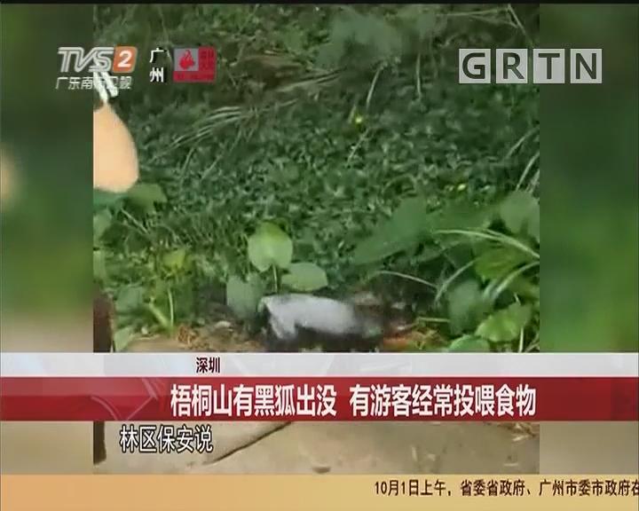 深圳:梧桐山有黑狐出没 有游客经常投喂食物