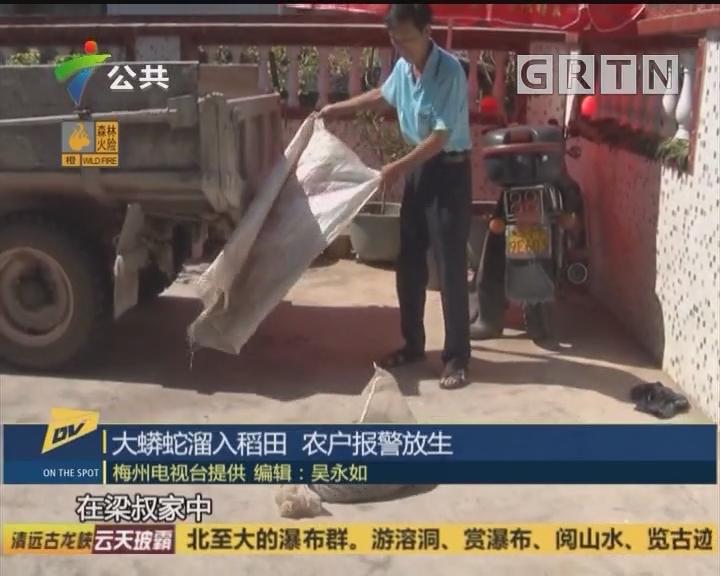 (DV现场)大蟒蛇溜入稻田 农户报警放生
