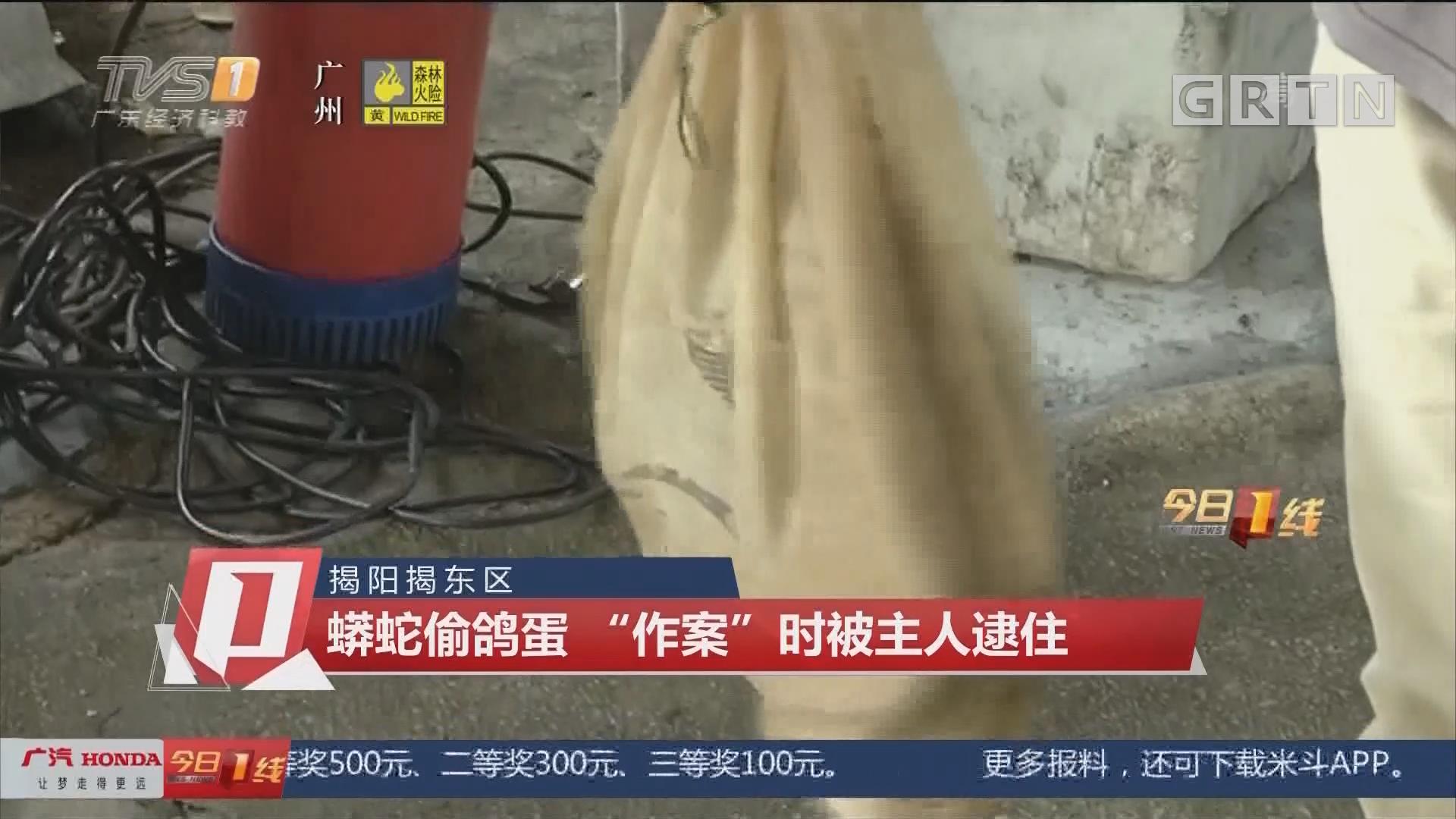 """揭陽揭東區 蟒蛇偷鴿蛋 """"作案""""時被主人逮住"""