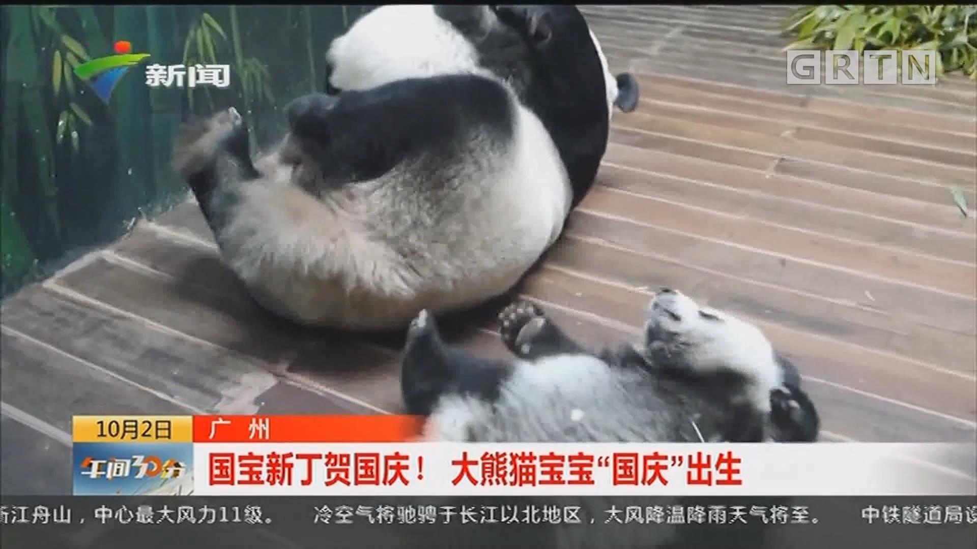 """广州:国宝新丁贺国庆!大熊猫宝宝""""国庆""""出生"""