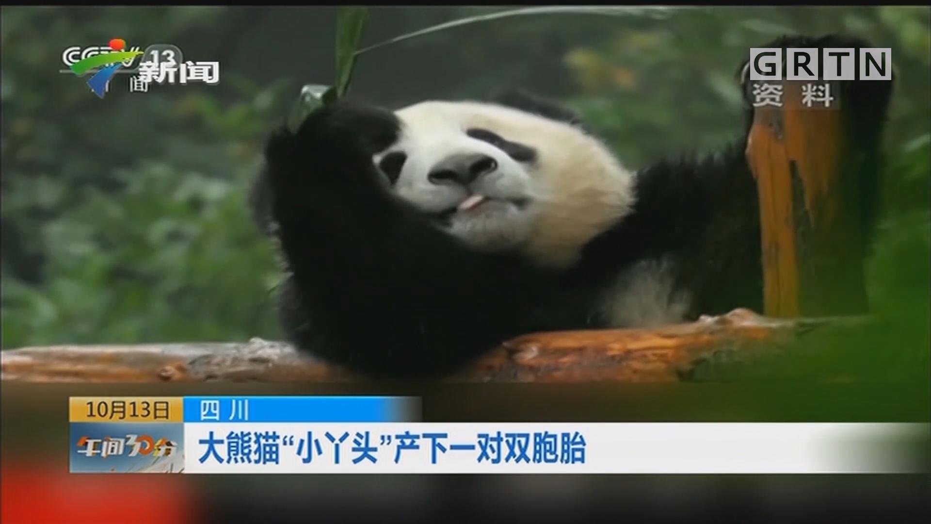 """四川:大熊猫""""小丫头""""产下一对双胞胎"""