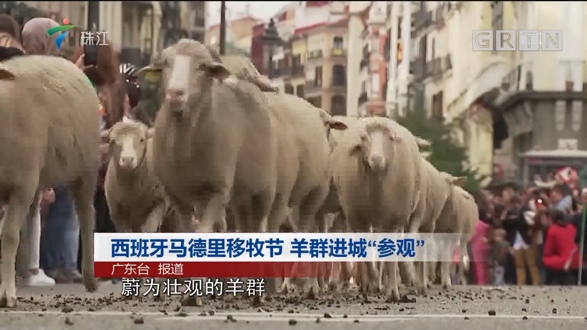 """西班牙马德里移牧节 羊群进城""""参观"""""""