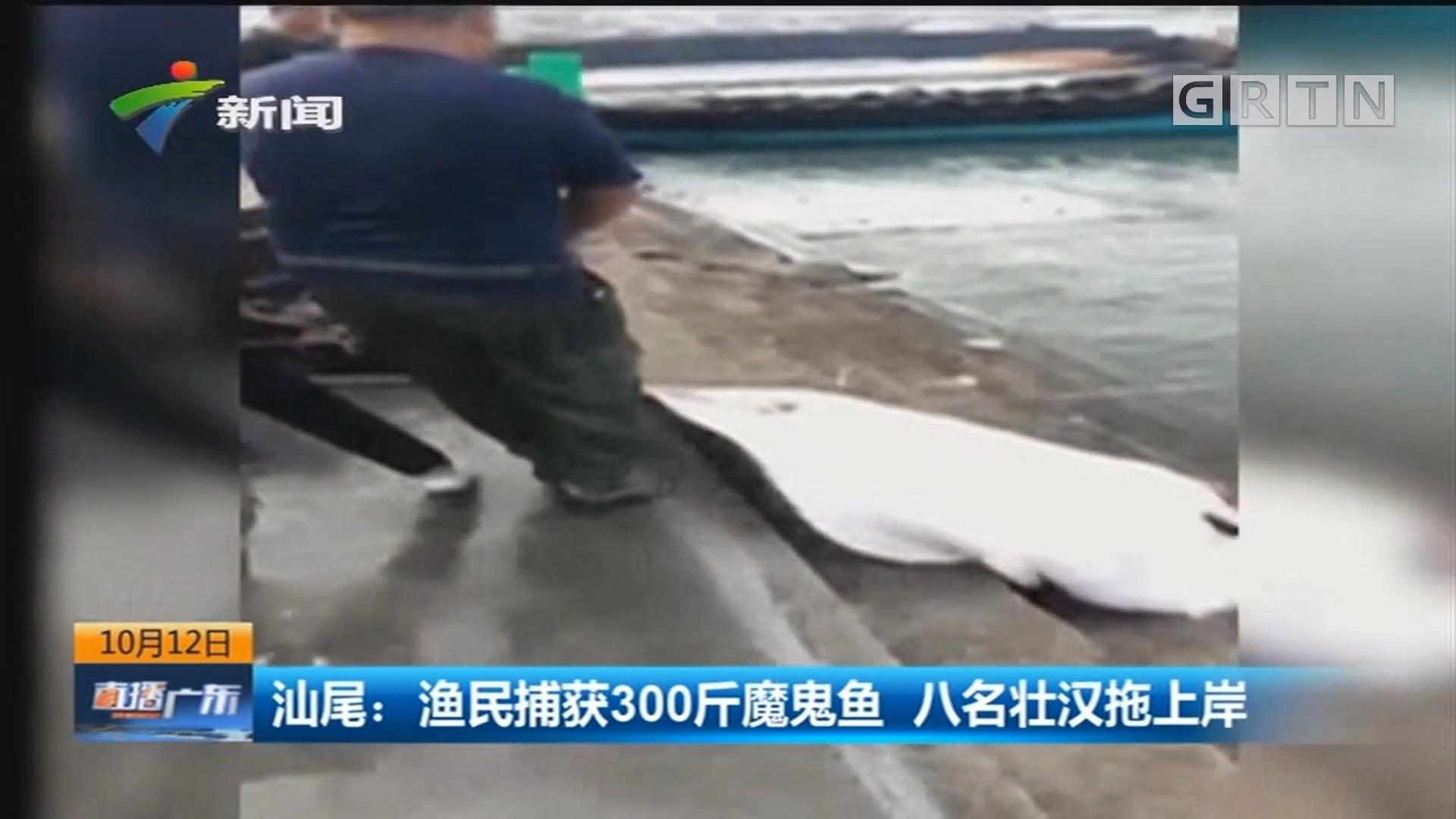 汕尾:渔民捕获300斤魔鬼鱼 八名壮汉拖上岸