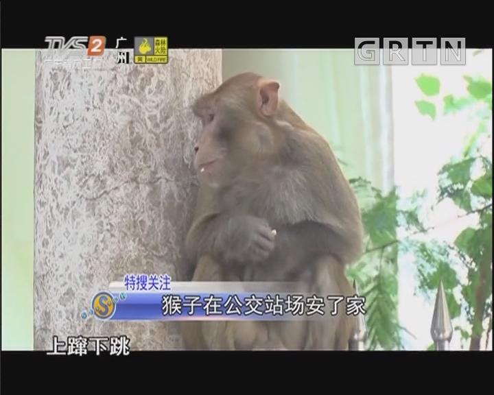 猴子在公交站場安了家