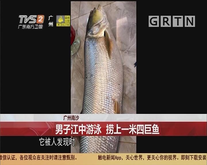 广州南沙 男子江中游泳 捞上一米四巨鱼