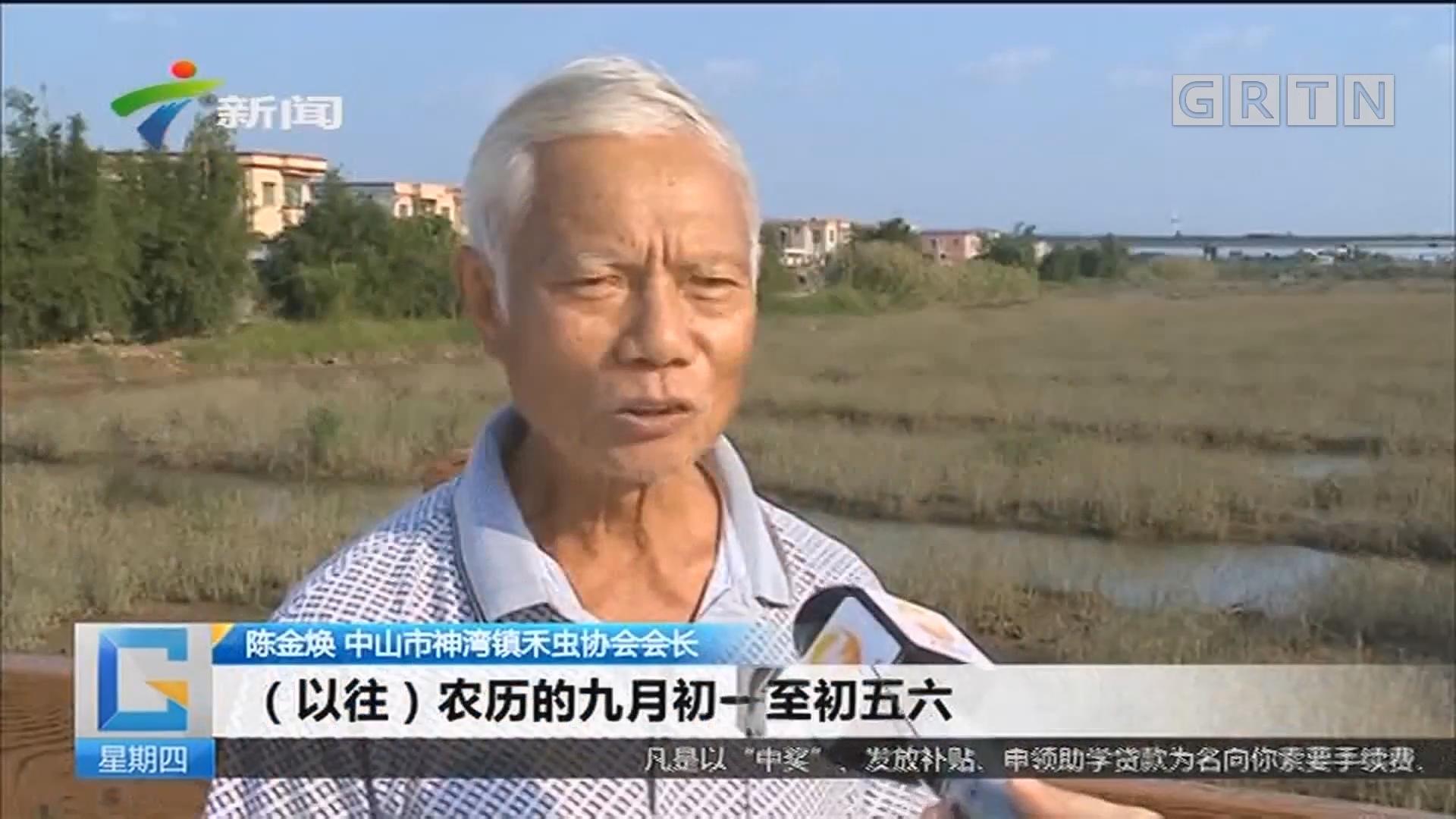 中山:神湾禾虫今年减产?