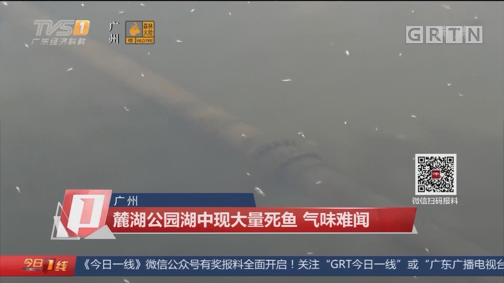 广州:麓湖公园湖中现大量死鱼 气味难闻