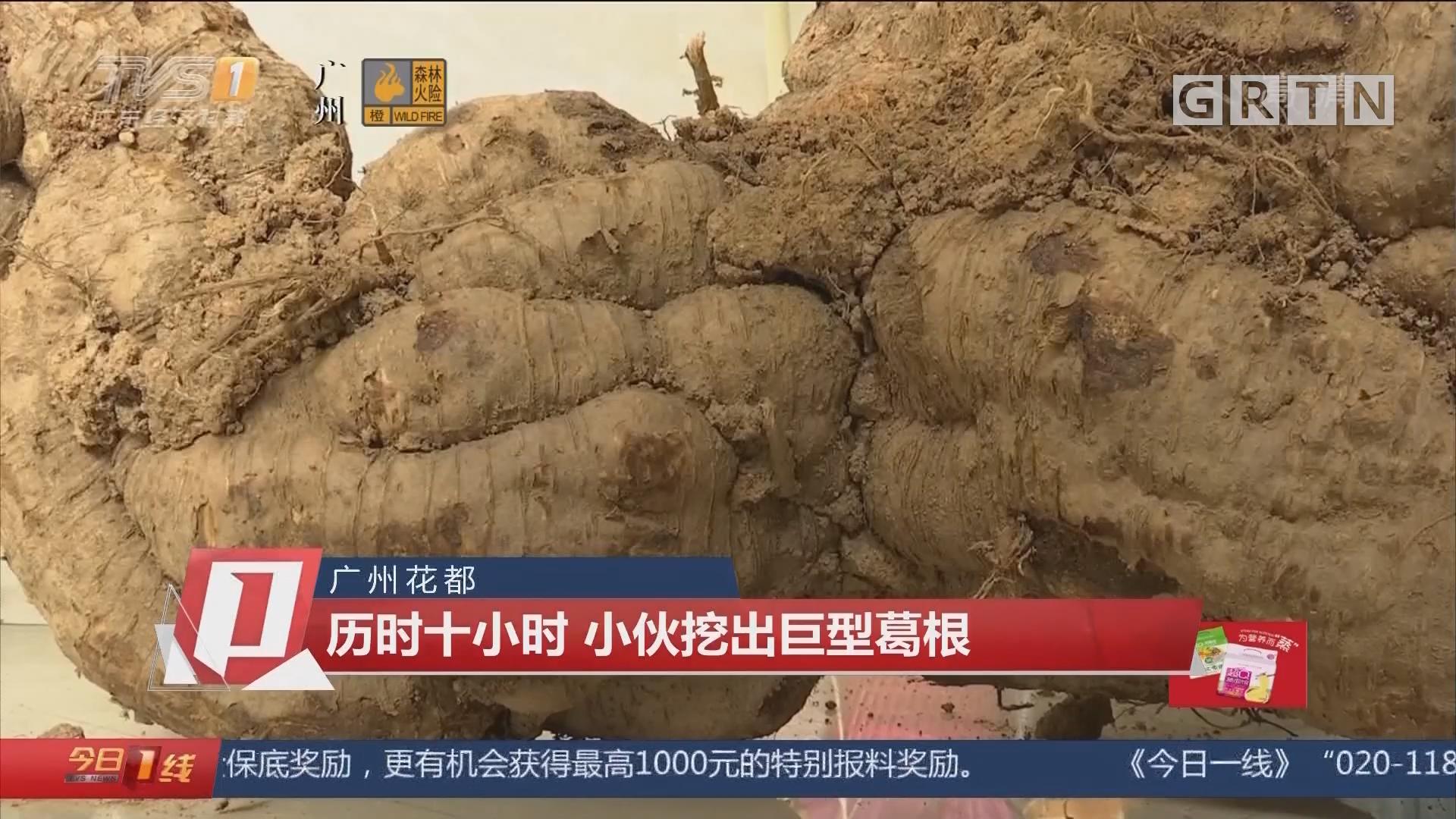 广州花都:历时十小时 小伙挖出巨型葛根