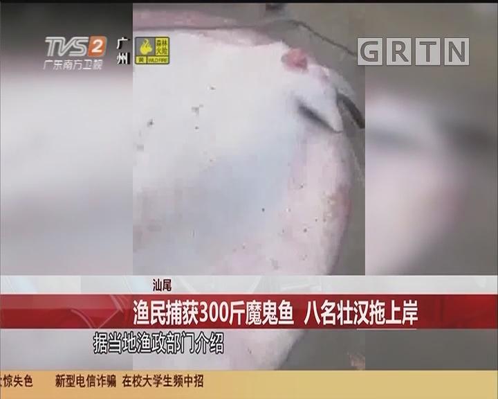 汕尾 渔民捕获300斤魔鬼鱼 八名壮汉拖上岸
