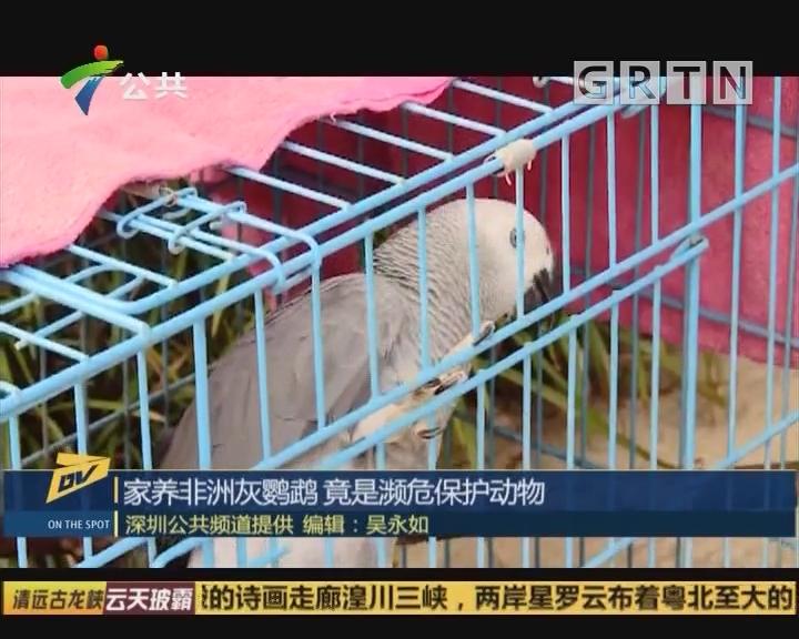(DV现场)家养非洲灰鹦鹉 竟是濒危保护动物