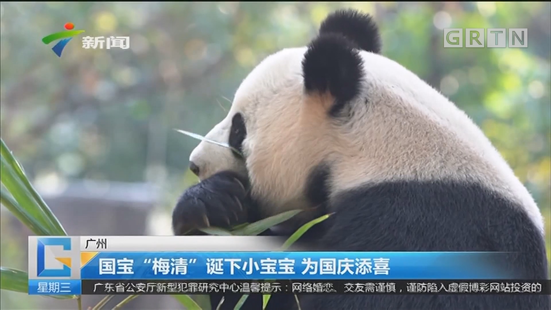 """广州:国宝""""梅清""""诞下小宝宝 为国庆添喜"""