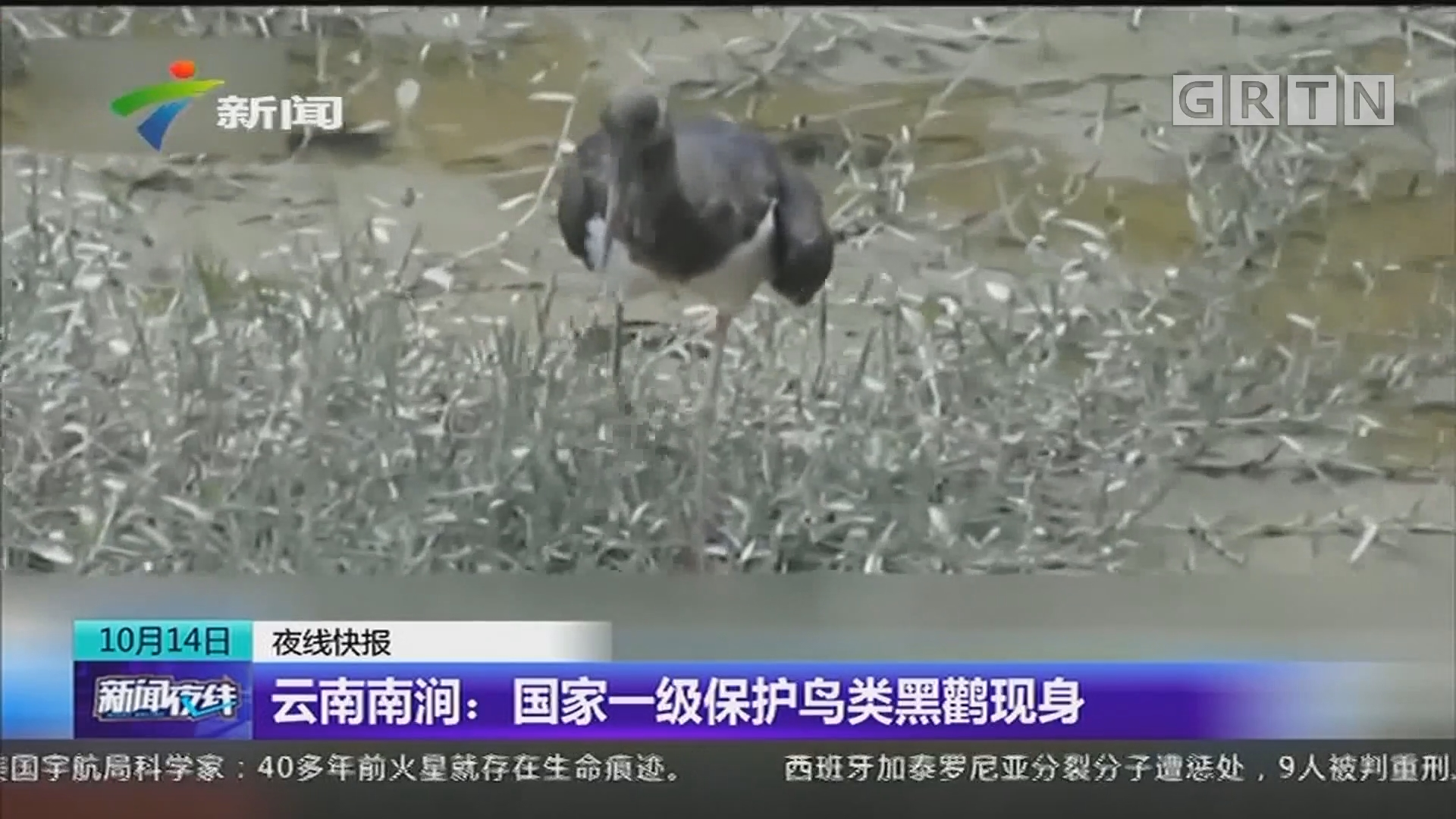 云南南涧:国家一级保护鸟类黑鹳现身