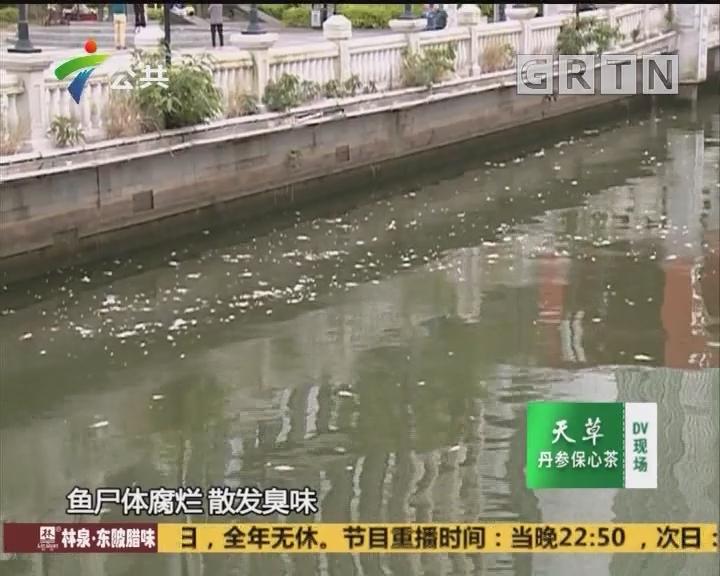 (DV现场)中山:岐江河飘满死鱼 溶解氧较低所致