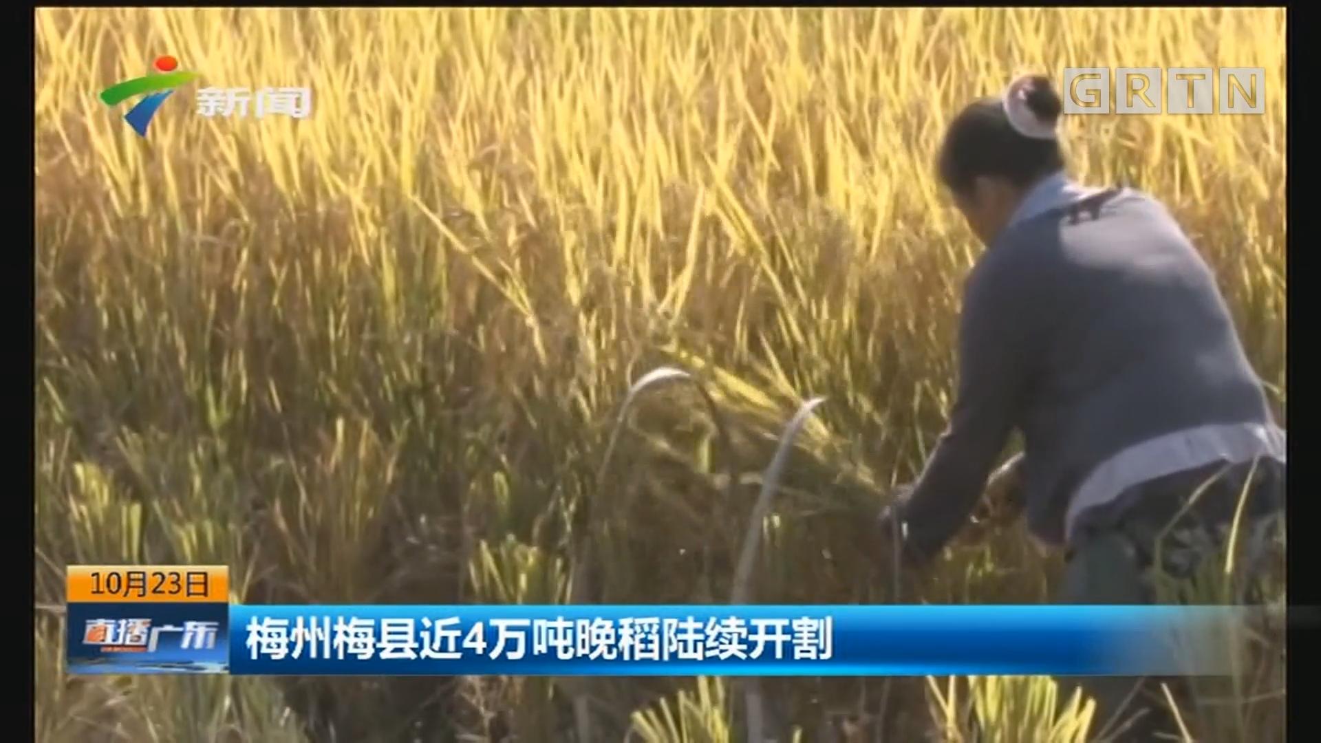 梅州梅县近4万吨晚稻陆续开割