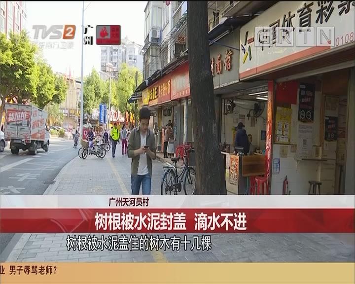 广州天河员村 树根被水泥封盖 滴水不进