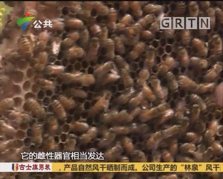 (DV现场)蜂王才可以吃到的蜂王浆 神奇的味道你试过没?