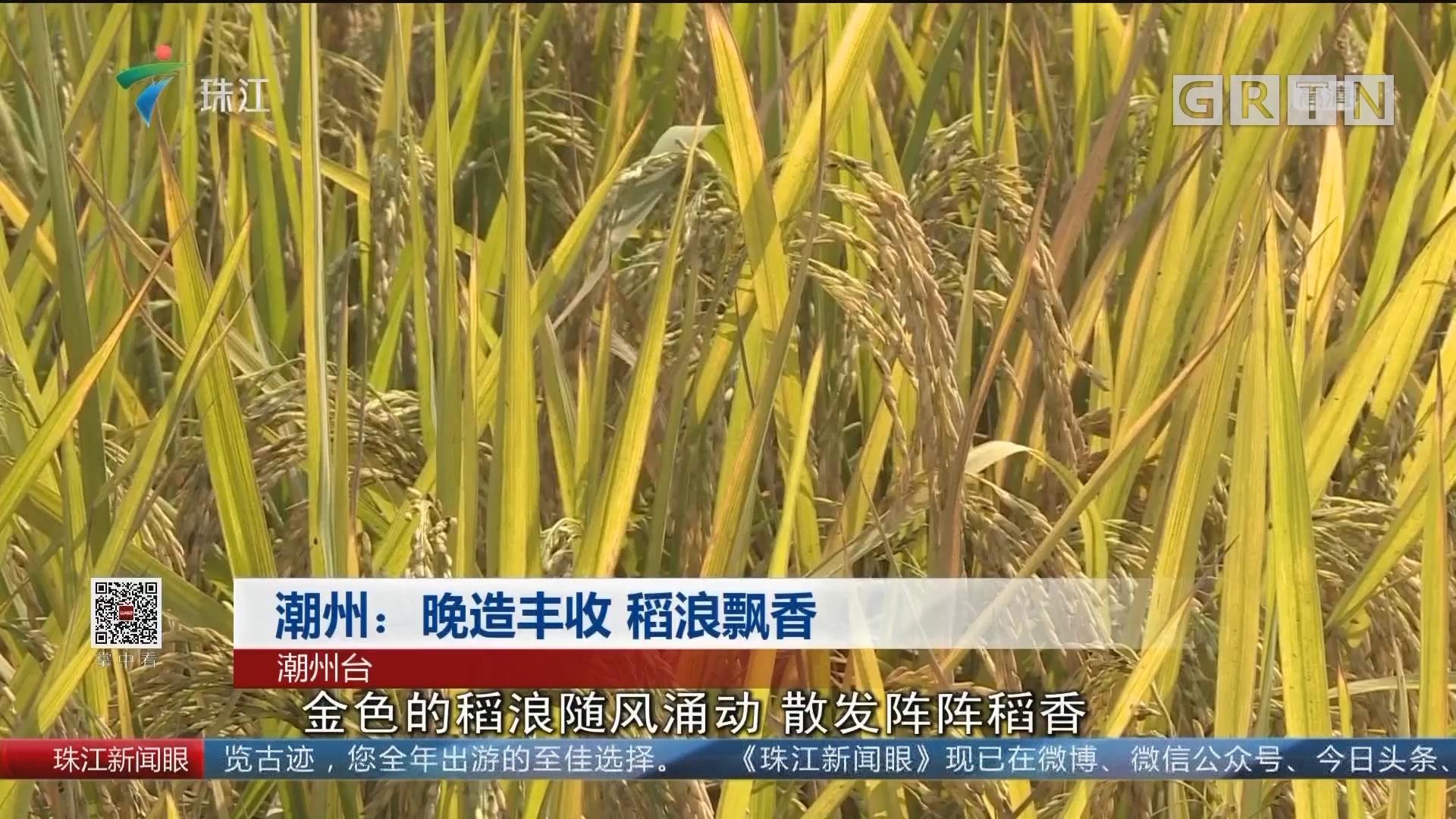 潮州:晚造丰收 稻浪飘香