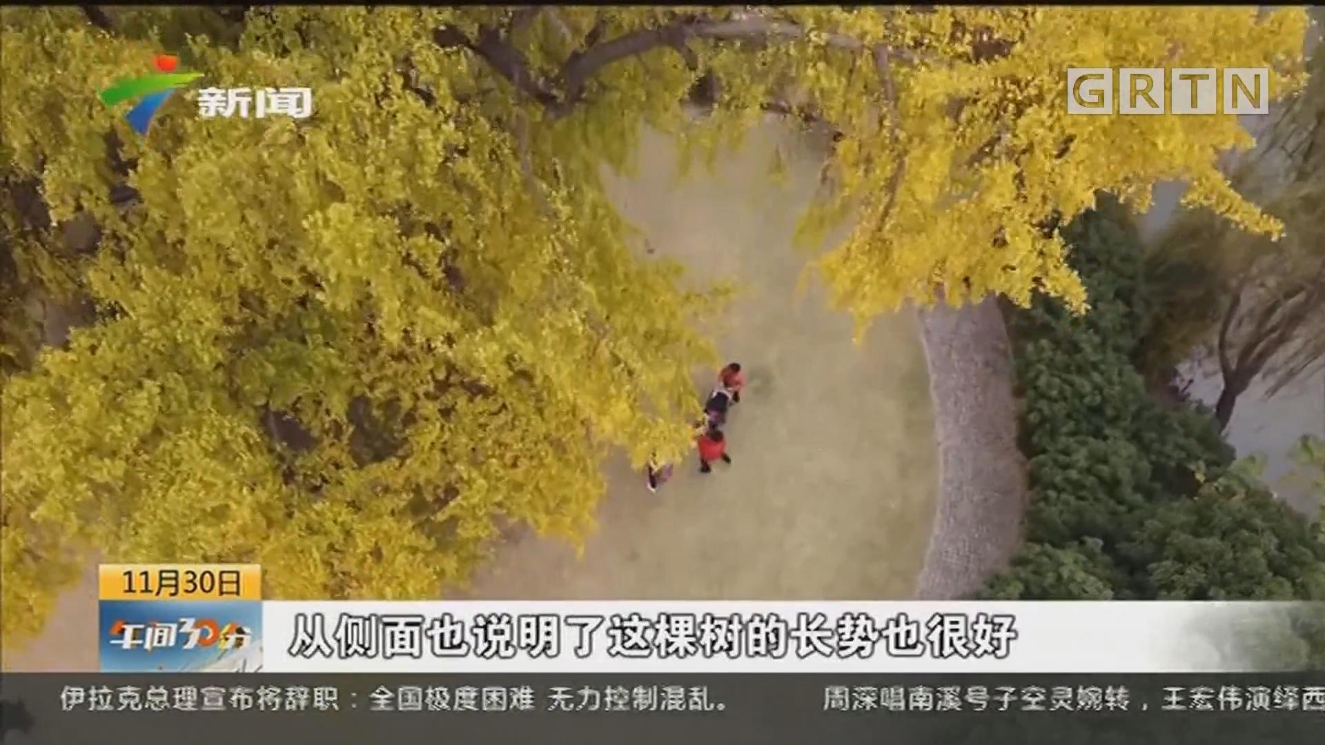 上海:银杏进入最佳观赏期 千年树王呈现反差绿