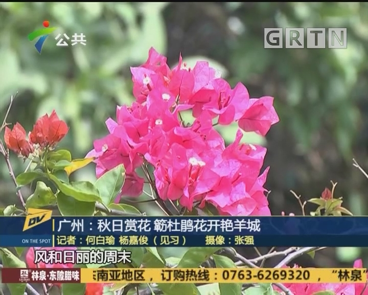 (DV现场)广州:秋日赏花 簕杜鹃花开艳羊城