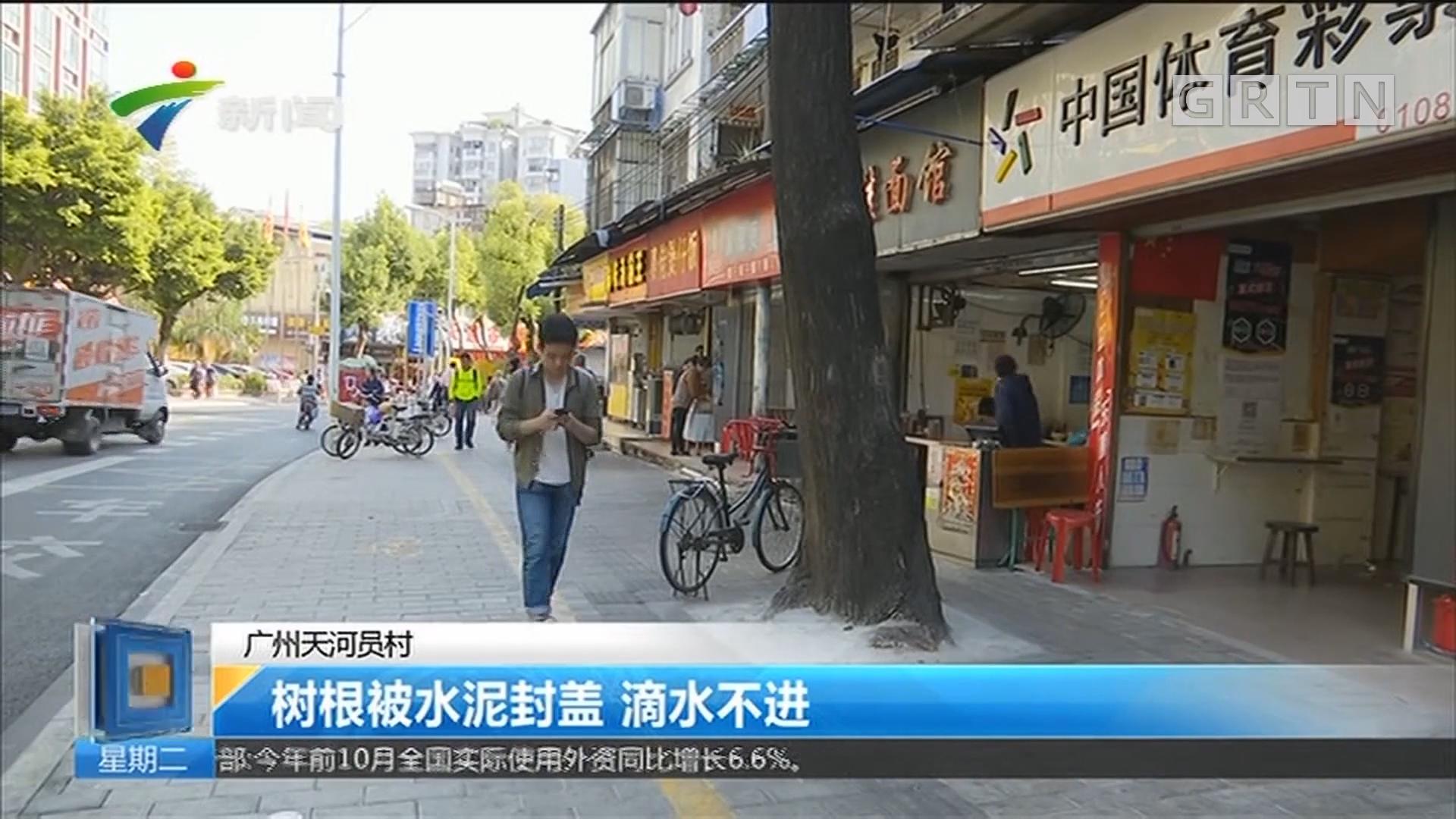 广州天河员村:树根被水泥封盖 滴水不进