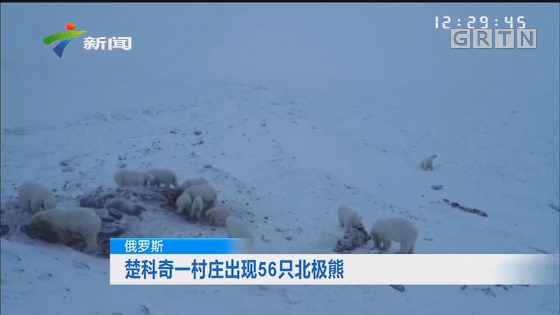 俄罗斯:楚科奇一村庄出现56只北极熊