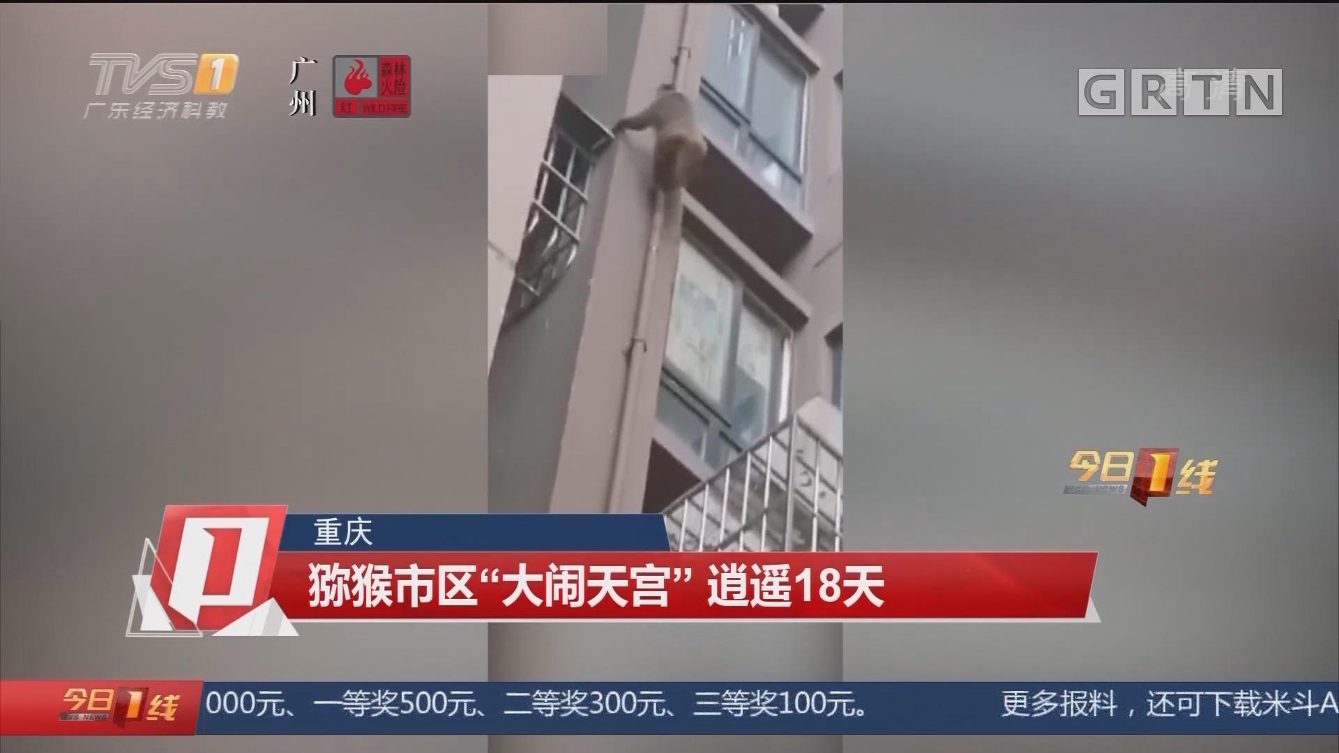 """重庆 猕猴市区""""大闹天宫""""逍遥18天"""
