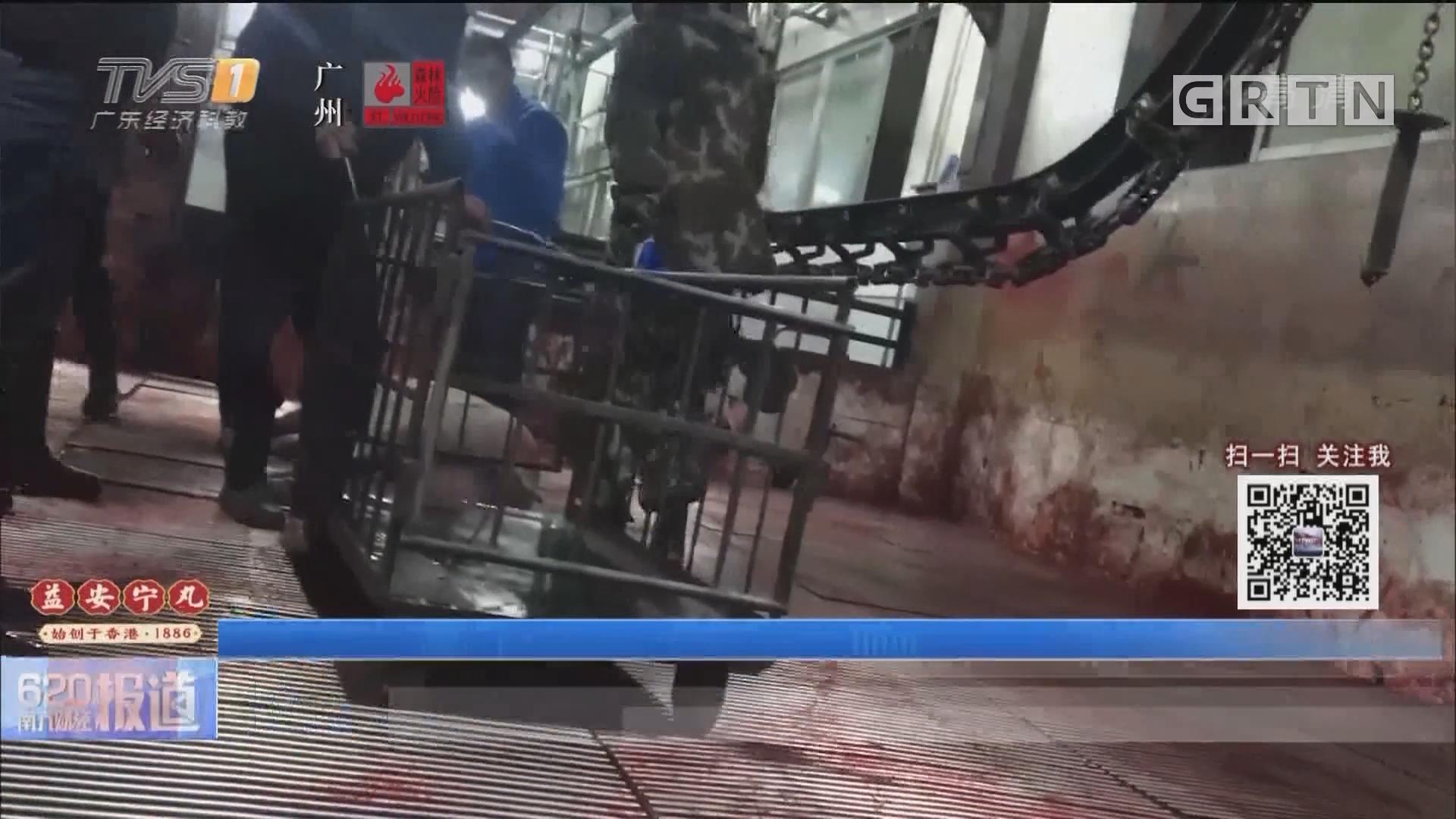 病死猪肉流入市场调查:正规肉联厂宰杀病死猪 检疫盖章一条龙