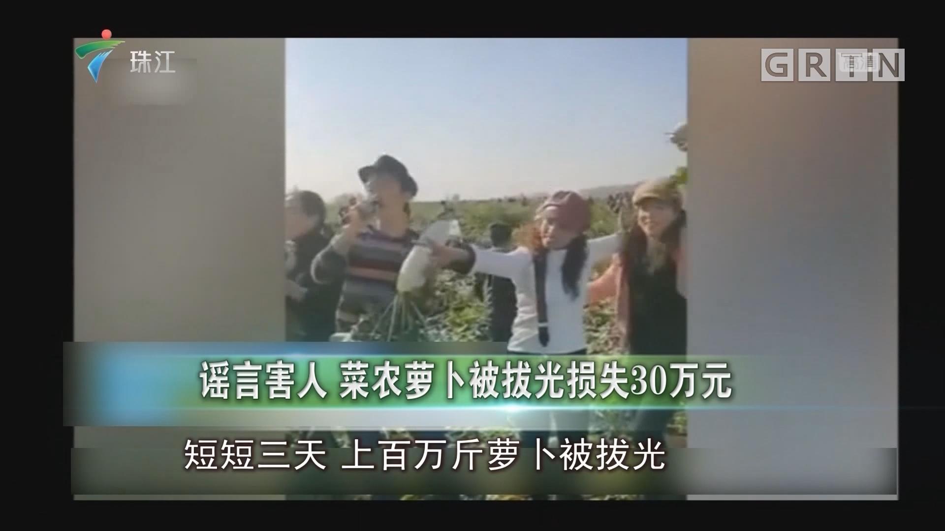 谣言害人 菜农萝卜被拔光损失30万元