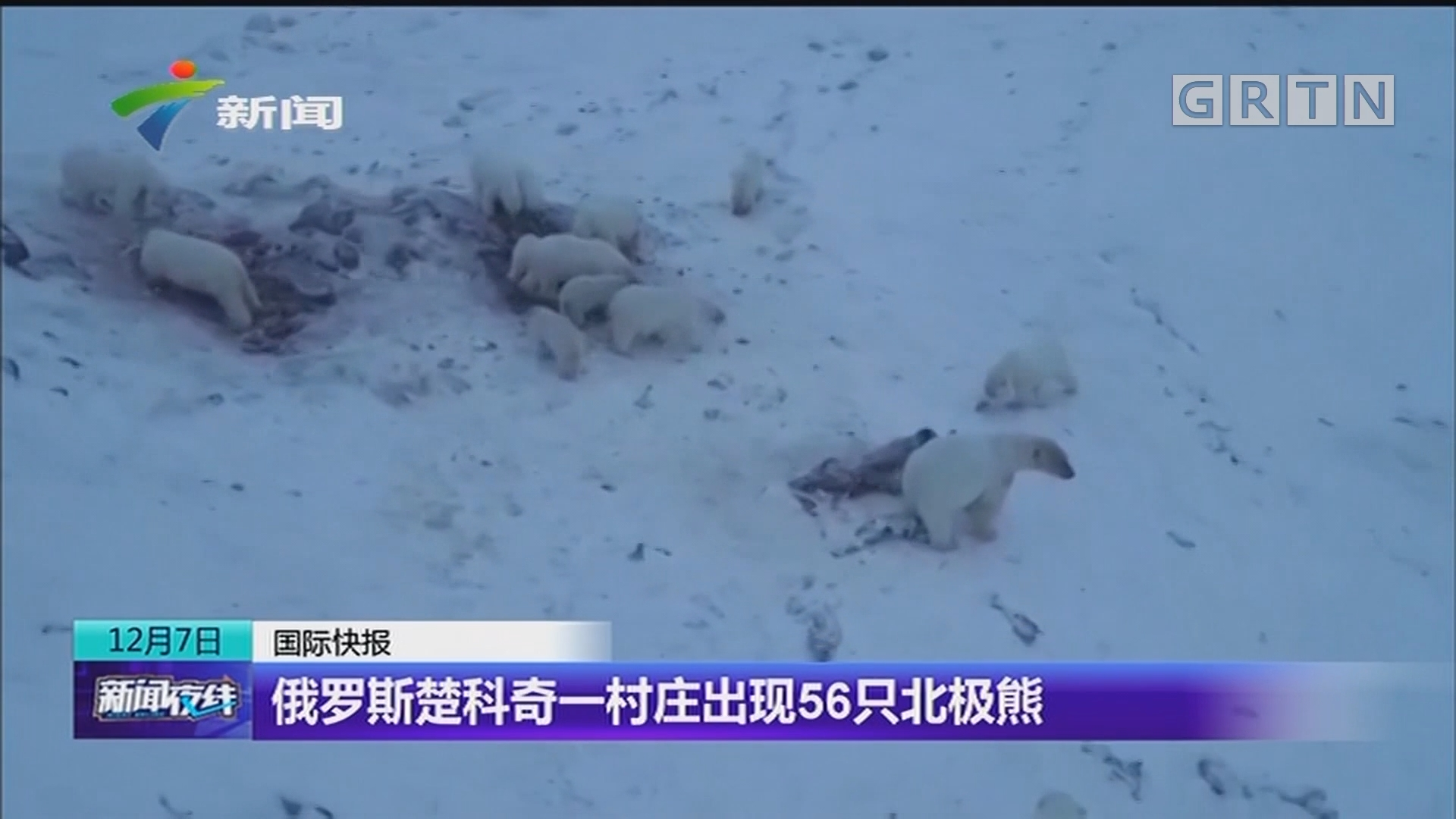 俄罗斯楚科奇一村庄出现56只北极熊