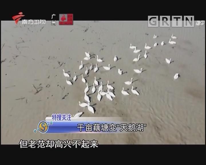 """千亩藕塘变""""天鹅湖"""""""
