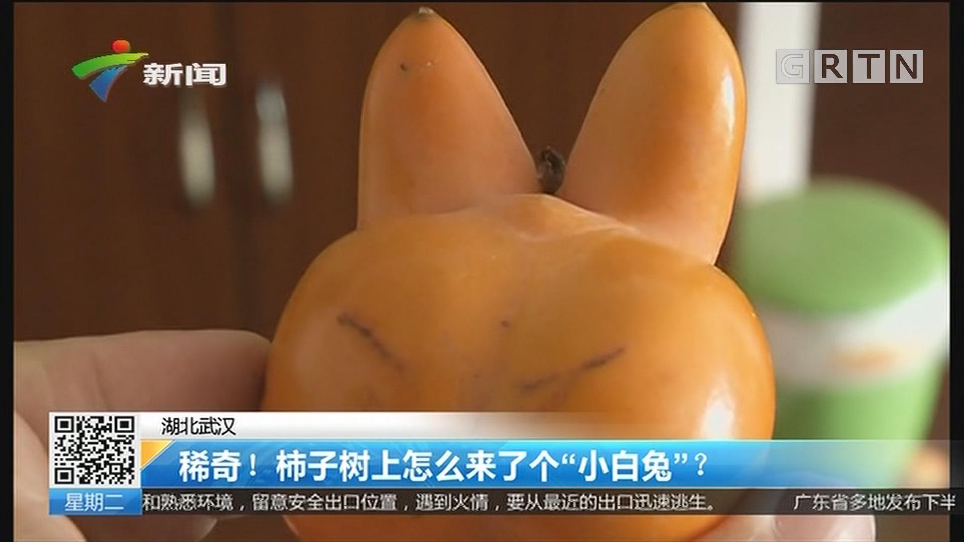 """湖北武汉:稀奇!柿子树上怎么来了个""""小白兔""""?"""