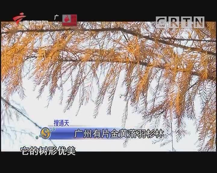 廣州有片金黃落羽彬林