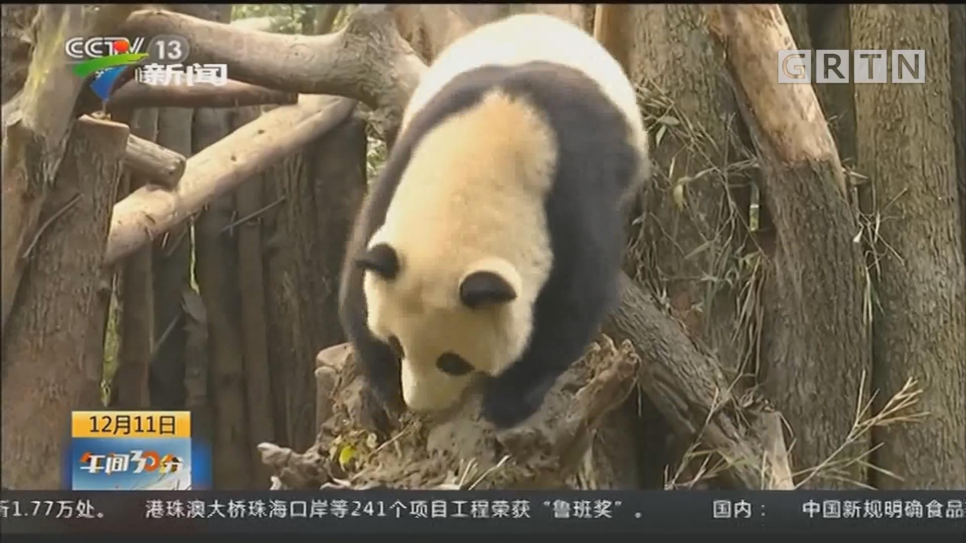 四川:地震来临 大熊猫飞奔上树