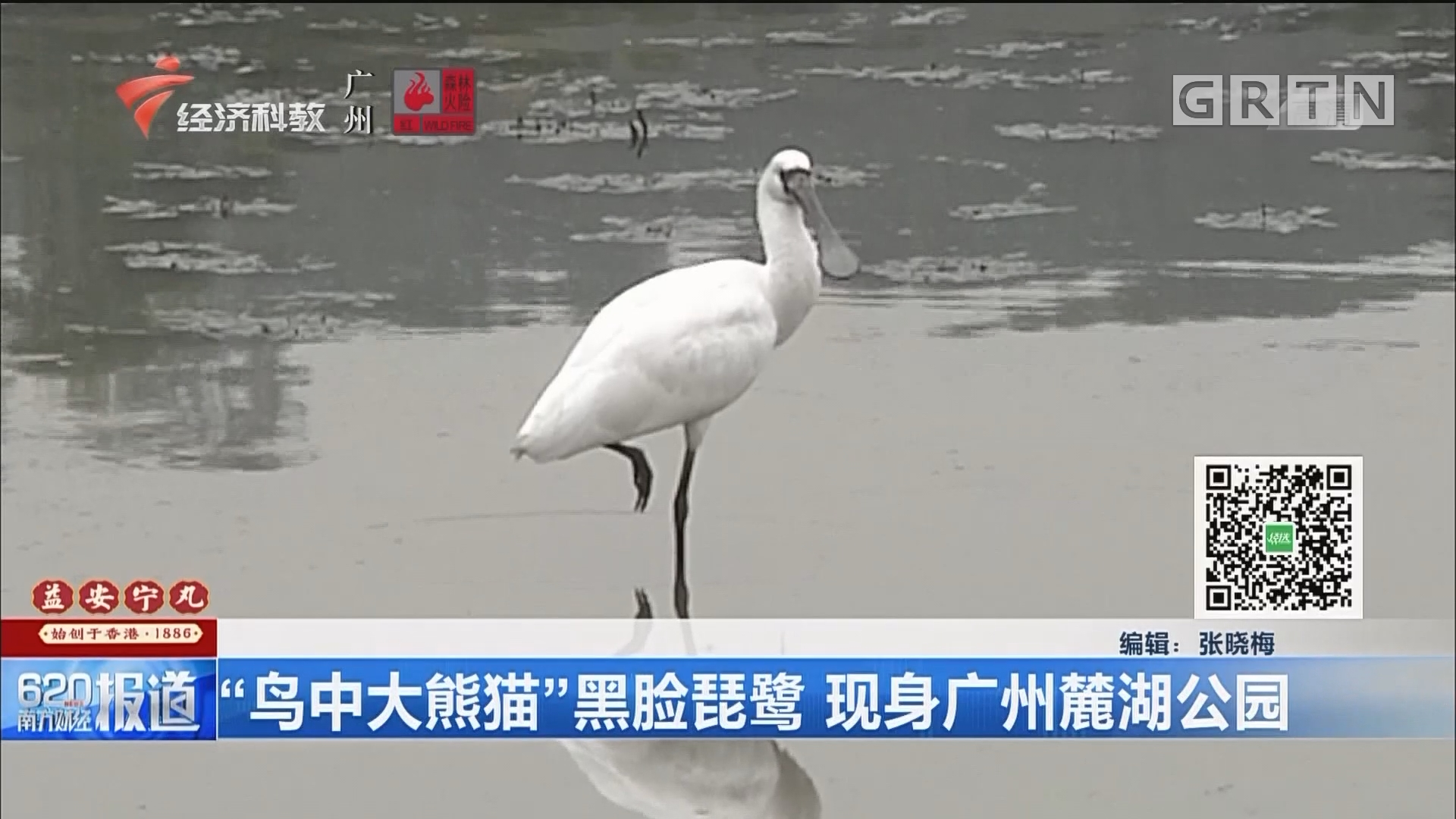 """""""鸟中大熊猫""""黑脸琵鹭 现身广州麓湖公园"""