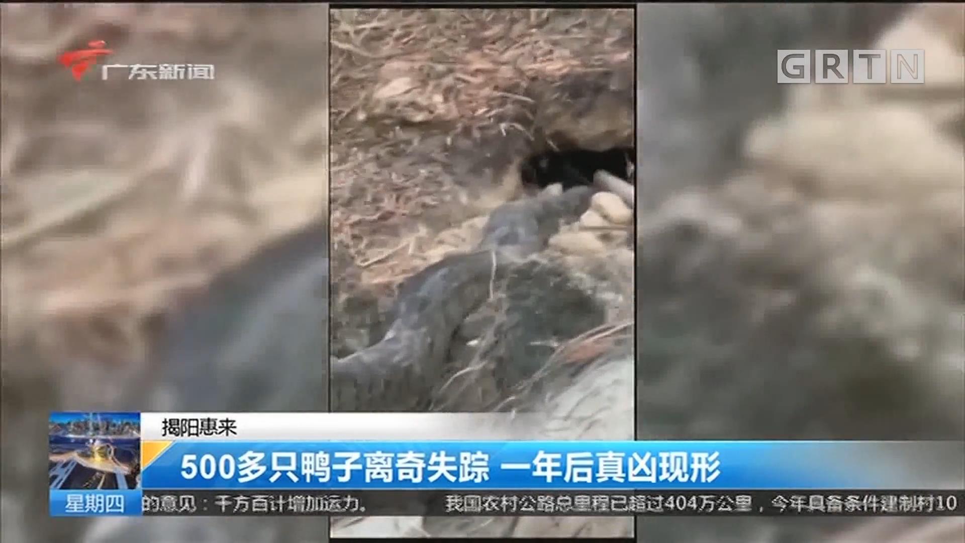 揭阳惠来 500多只鸭子离奇失踪 一年后真凶现形